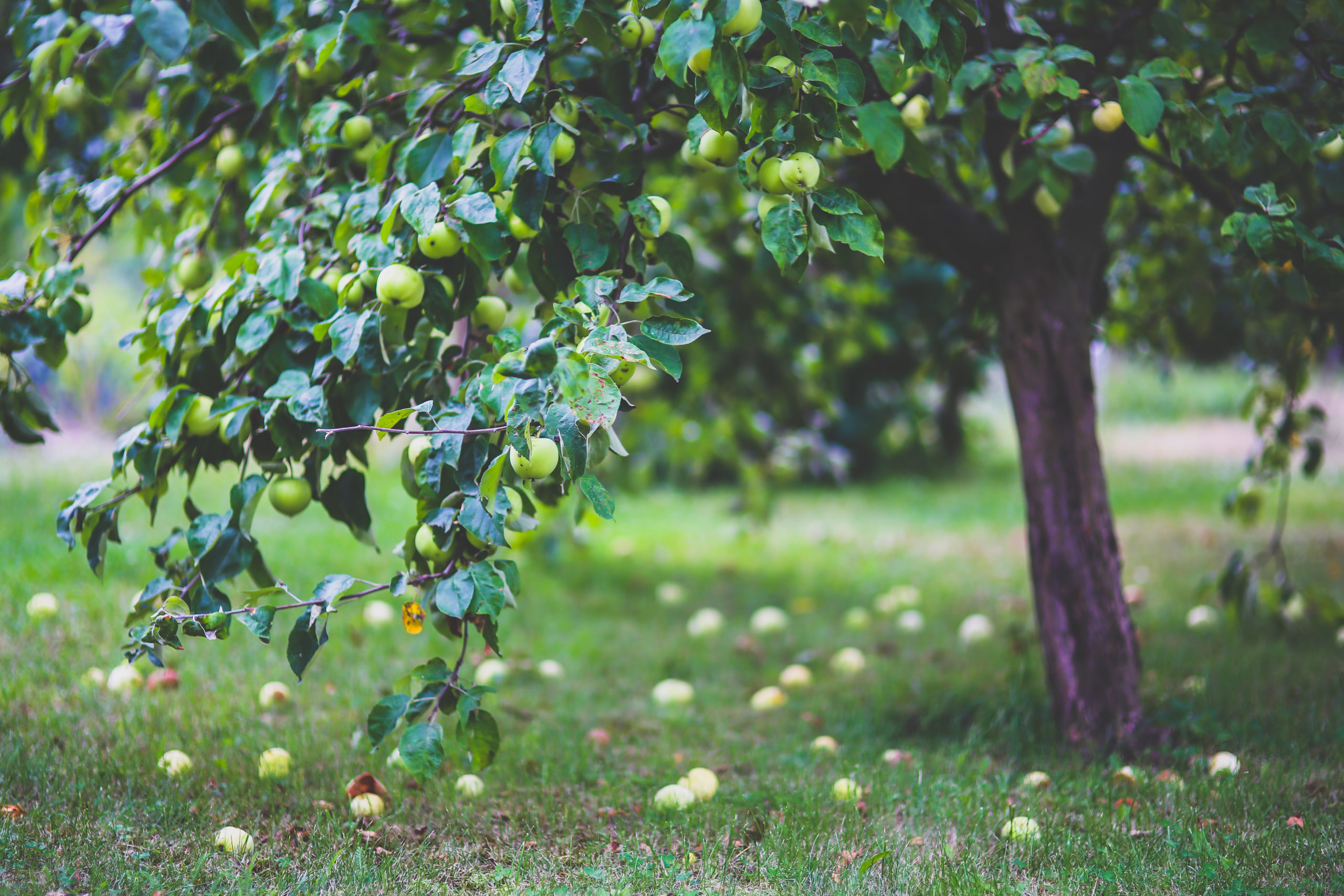 Apple Talk: Working with Growers Over the Phone to Achieve Sustainability Goals